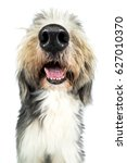 Stock photo dog bearded collie funny snout mouth with teeth wide angle tongue and thick nose 627010370