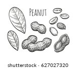 peanut set. ink sketch of nuts. ... | Shutterstock .eps vector #627027320