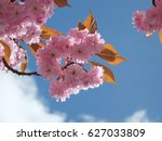 Pink Cherry Blossom In Close Up ...