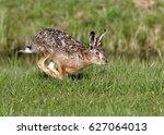 Stock photo fast running european brown hare lepus europaeus 627064013