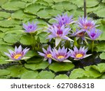 Small photo of nymphaea carulea garden botani in ,meise in belgium