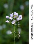 pale pink flowers of cuckoo...   Shutterstock . vector #627100748