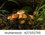 cluster of sulphur tuft fungi...   Shutterstock . vector #627101750