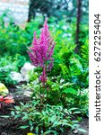Small photo of Closeup of Astilbe chinensis - herbaceous perennial flower