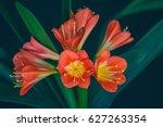 Flowers Of The Kaffir Lilly...