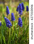 Small photo of Muscari armeniacum ( Grape hyacinths). The cobalt blue bells are easy to grow and their flowers will complement every other plant in your spring garden.