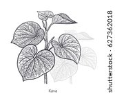 kava. medical herbs and plants... | Shutterstock .eps vector #627362018