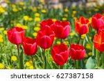 red tulips in a meadow in... | Shutterstock . vector #627387158