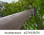 Small photo of Giant australian Kauri pine in the Royal Botanic Gardens, Kandy. Sri Lanka.