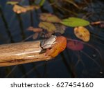 Marbled Reed Frog Tiny Frog...