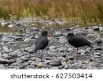 Two Variable Oystercatchers On...