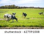 wild cows enjoy their first...   Shutterstock . vector #627591008