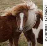 dartmoor pony grazing on...   Shutterstock . vector #627602324