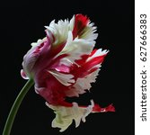 Red And White Parrot Tulip...
