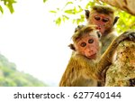 Monkeys On Tree. Monkey Portrait