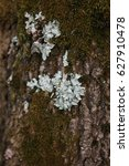 Small photo of Moss and lichen (Parmelia saxatilis, sulcata, Parmeliaceae) on the bark.
