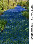 A River Of Grape Hyacinths
