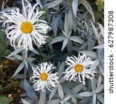 Small photo of Alpine daisy