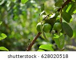 Small photo of Guava fruit