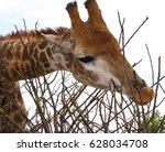 Giraffe Portrait. Hungry...