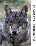 eurasian wolf | Shutterstock . vector #628109708
