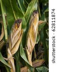 indiana corn bathed in the... | Shutterstock . vector #62811874