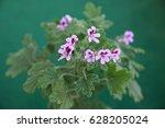 geranium fragrance  pelargonium ... | Shutterstock . vector #628205024