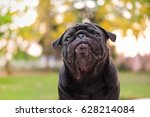 funny face of pug dog with...   Shutterstock . vector #628214084