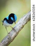 superb fairy wren stand on a... | Shutterstock . vector #628265354