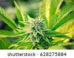 cannabis gorilla grow   | Shutterstock . vector #628275884