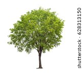 isolated tree with green leaf