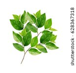 green leaves on branch isolated ... | Shutterstock . vector #628367318