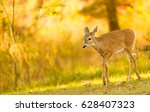 Young Deer In Autumn Park
