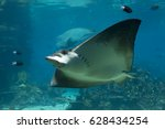 Small photo of Spotted Eagle-rays (Aetobatus narinari) swimming in front of Humphead Wrasse (Cheilinus undulates)