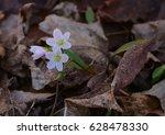 Small photo of Carolina Spring Beauty / Claytonia caroliniana