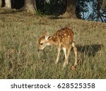 A Newborn Spotted Fawn Baby...