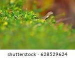monitor lizard   Shutterstock . vector #628529624