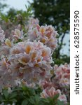Small photo of Rhododendron Irene Koster