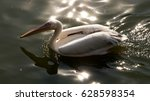 Beautiful White Pelican...