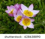 Tulipa Bakeri Lilac Wonder ...
