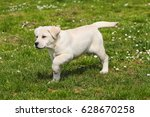 portrait of puppy yellow... | Shutterstock . vector #628670258