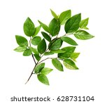 green leaves on branch isolated ... | Shutterstock . vector #628731104