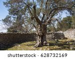 Old Olive Tree In 100 Years Old ...