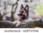 german shepherd dog in the... | Shutterstock . vector #628747046