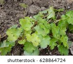 Small photo of Round Leaved Alumroot Hepatica americana