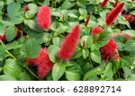 Chenille Plant With Red Fuzzy...