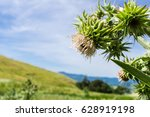 Mt Hamilton Thistle  Cirsium...