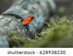 Strawberry poison frog or strawberry poison-dart frog (Oophaga pumilio, formerly Dendrobates pumilio)