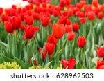 red tulips   Shutterstock . vector #628962503