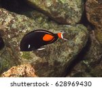 Small photo of An orange and black Achilles tang swims gracefully through the ocean.